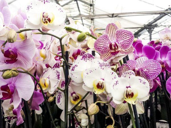 Применение Корневина для орхидей — основные рекомендации