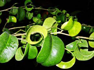 Фикус Барок (Барокко) — полезная информация о выращивании