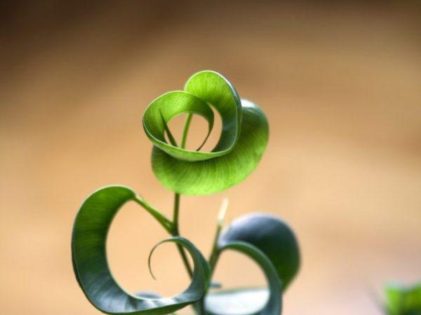 Молодое растение ежегодно пересаживают