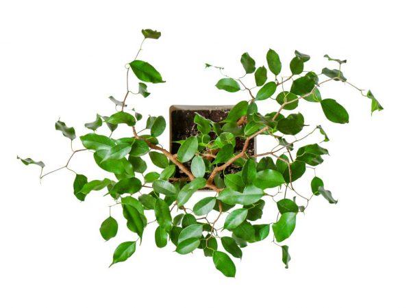 Растение не выносит сквозняков