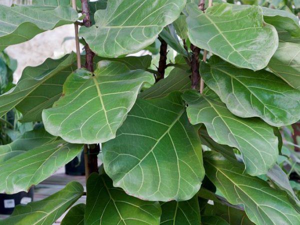 Растение требовательно к влажности воздуха