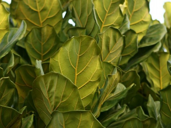 Фикус Лирата — советы по уходу за растением