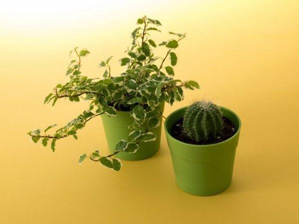 Растение не должно расти в тесной таре
