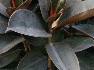 Магический фикус Робуста — тонкости выращивания в домашних условиях