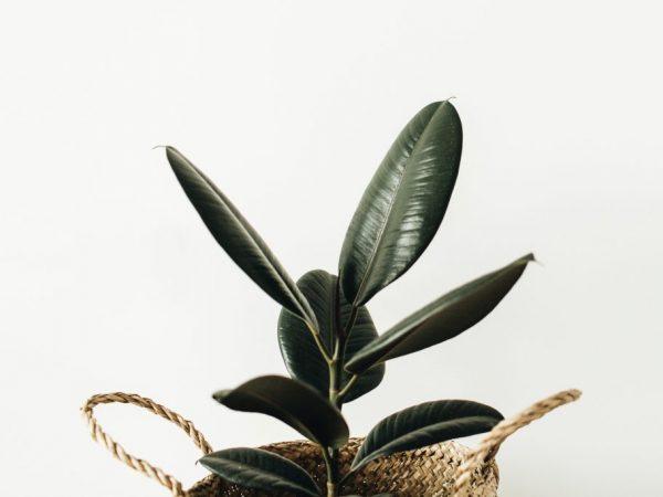 Крону растения необходимо формировать