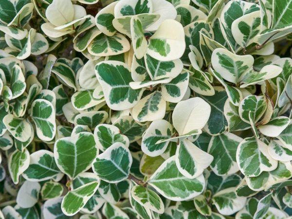 Оберегайте растение от сквозняков
