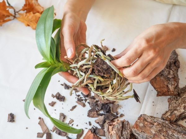 Применение Фитоспорина для орхидей