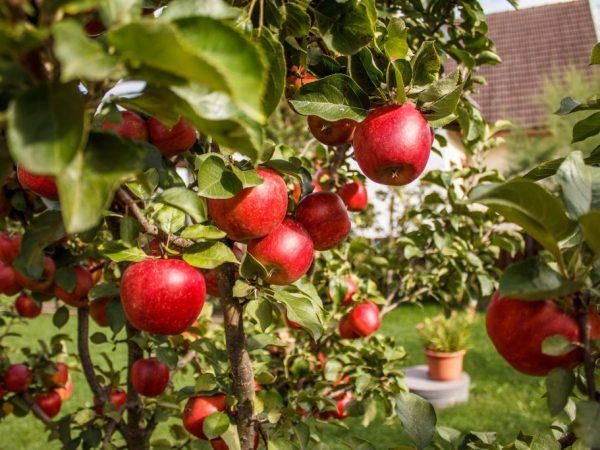 Снимать фрукты желательно с плодоножкой