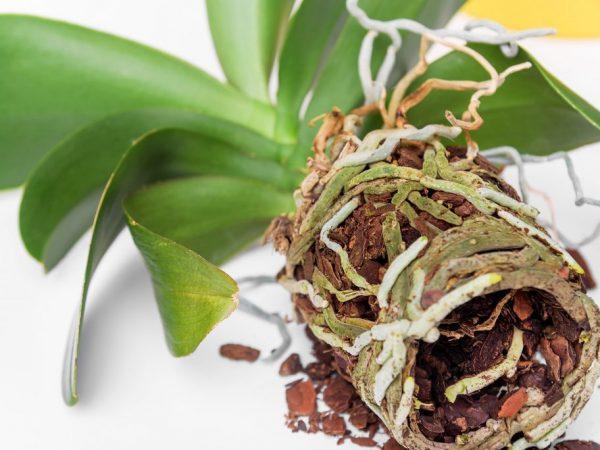Орхидея требовательна к качеству грунта