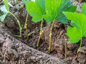 Осеннее черенкование смородины — правила размножения