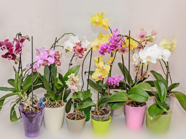 Орхидея Мультифлора — обзор сортов и правила ухода