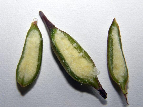 Корневин благоприятно влияет на проращиваемость семян