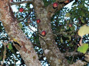 У яблони отваливается кора — быстрая помощь