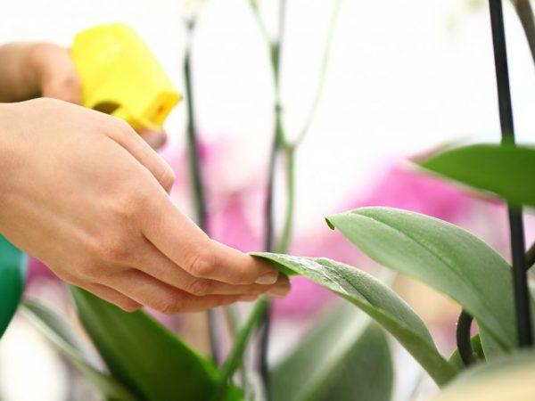 Мучнистый червец на орхидее — причины появления и методы борьбы
