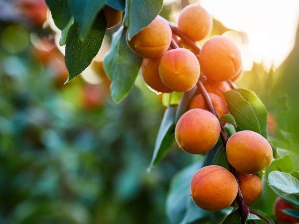 Обрезка абрикоса — правила проведения процедуры осенью