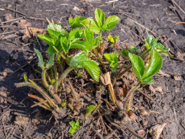 Осенняя обрезка укрепляет корневую систему