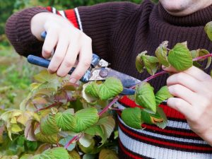 Осенняя обрезка ремонтантной малины — целесообразность процедуры