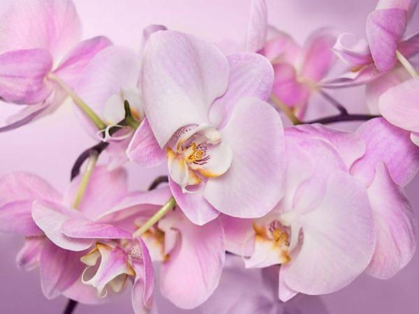 Орхидея не переносит сквозняков