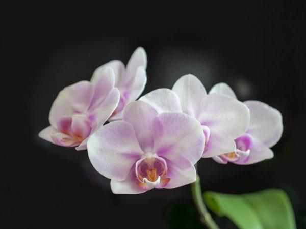 Кружевная Льюис Сакура — орхидея мечты