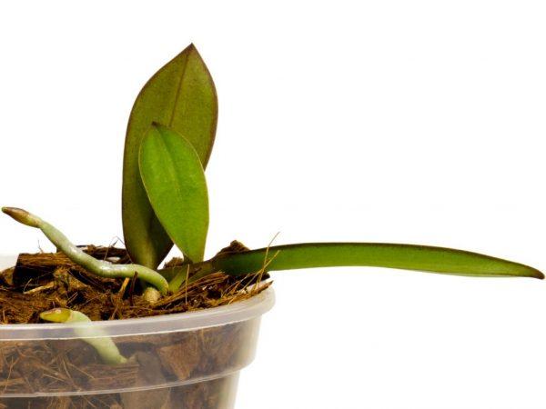 При наличии корней детку можно отсаживать