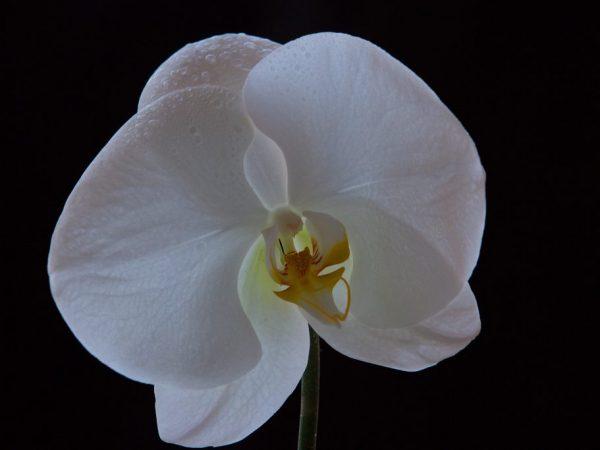Фаленопсис Синголо — уникальный одноцветковый красавец среди орхидей