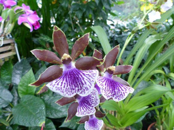 Орхидея Зигопеталум — как ухаживать в домашних условиях