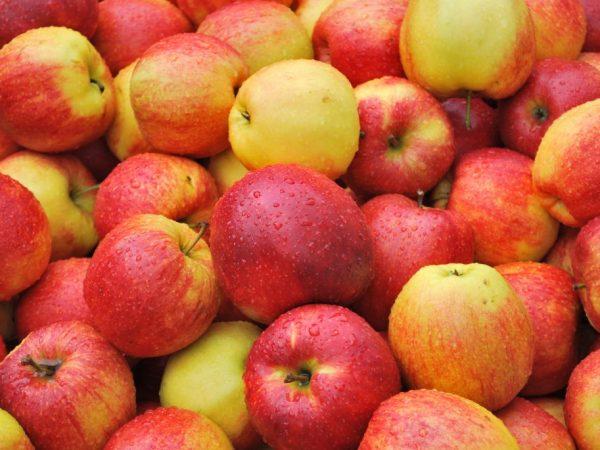Яблоня Пинова — особенности выращивания