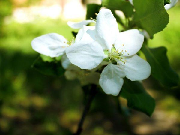 Яблоня Подарок Графскому — особенности выращивания