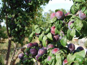 Осенняя подкормка сливы — выращиваем здоровое растение