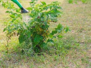 Подкормка малины осенью — секреты богатого урожая