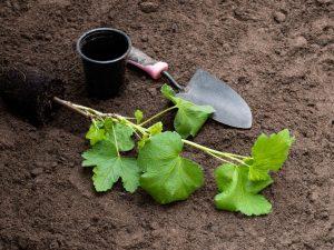 Осенняя посадка смородины — основные этапы