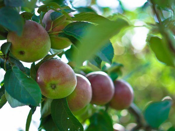 Яблони не занимают много места на участке