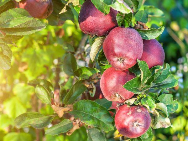 Неприхотливая яблоня