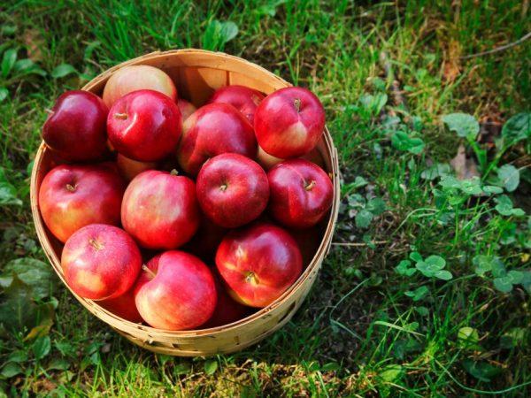 Яблоня Ред Делишес — описание сорта