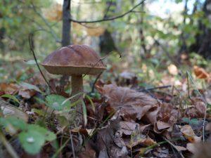 Какие грибы растут в средней полосы России