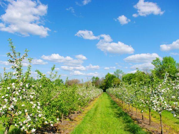 Яблони необходимо регулярно поливать и удобрять