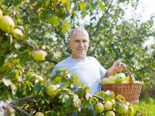 Приспособление для сбора яблок можно сделать самостоятельно