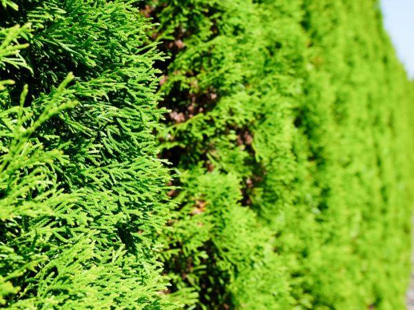 Туя Вудварди — шаровидный карликовый хвойник