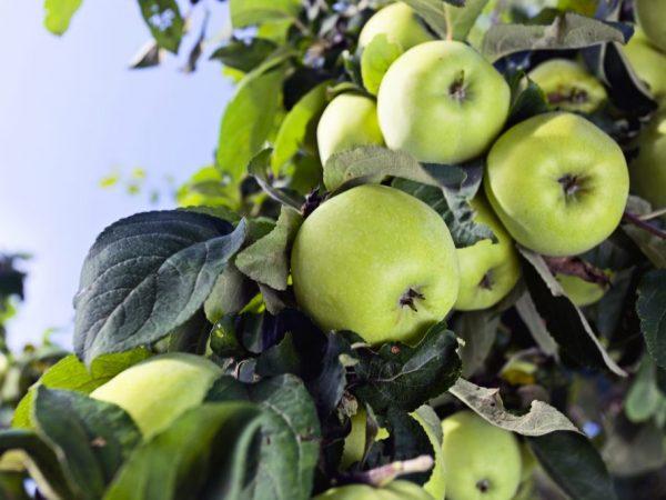 Плоды очень вкусные