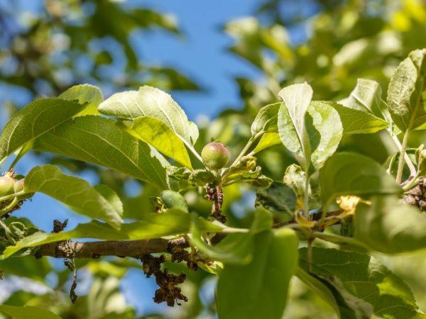 Сорт яблони Вымпел — основные преимущества