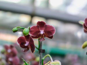 Орхидея фаленопсис Каменная роза — капризная красавица