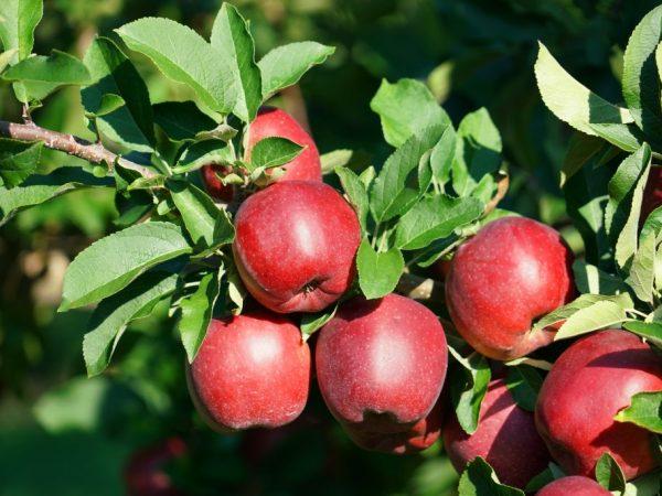 Яблоня Белорусское сладкое — особенности выращивания