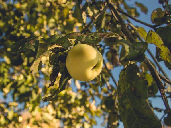 Яблоню стоит обновлять