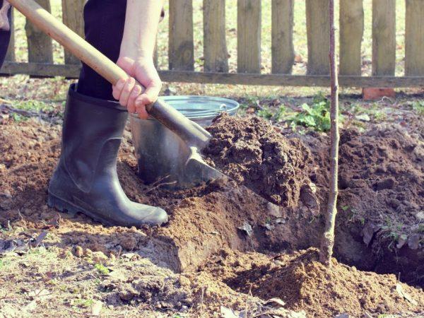 При появлении корней высаживаем деревце