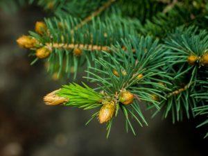 Сербская ёлка — самые красивые и продуктивные сорта