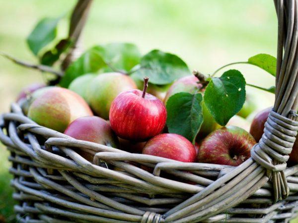 Яблоня Елена — как вырастить плодовое дерево