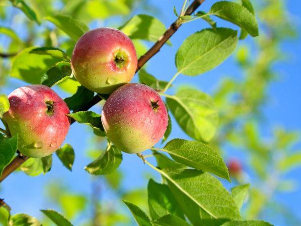 Простая техника ухода за яблоней