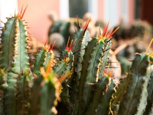Эуфорбия Энопла — как выращивать растение дома
