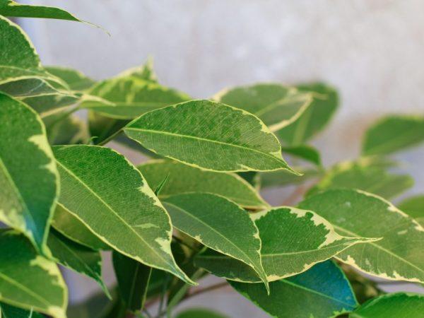 Фикус Голден Кинг — красивое деревце с пышной листвой