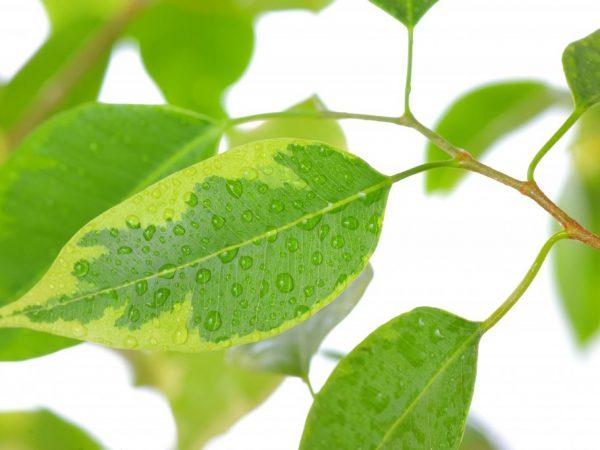 Растение в зимнее время не нуждается в подкормках